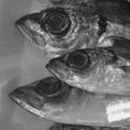 Photos: 魚眼