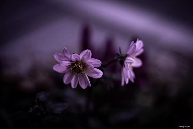 Photos: 優しい色の花