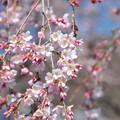 Photos: 三分咲きのしだれ