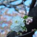 Photos: ソメイヨシノ一輪