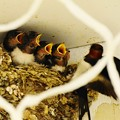 Photos: 5羽の雛鳥