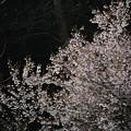 写真: 170413_相模原市緑区・篠原の里_サクラ「豆桜?」_G170413D4693_MZD300P_X7Sss