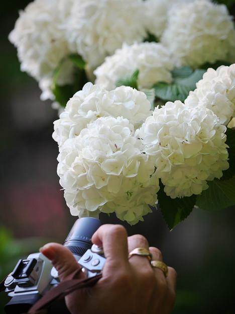170429_板橋区・赤塚植物園_オオデマリ_G170429E5244_MZD300P_X7Ss