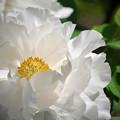 Photos: 170429_板橋区・赤塚植物園_ボタン_G170429E5062_MZD300P_X7Ss