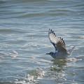 180302_茅ヶ崎・柳島海岸_着水<ユリカモメ>_G180302P2145_MZD300P_X8Ss