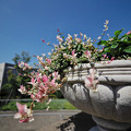 Photos: 180919_横浜市中区・山手イタリア山庭園_葉もの<ツタ仲間>_G180919X1938_MZD8F FR2_X8Ss