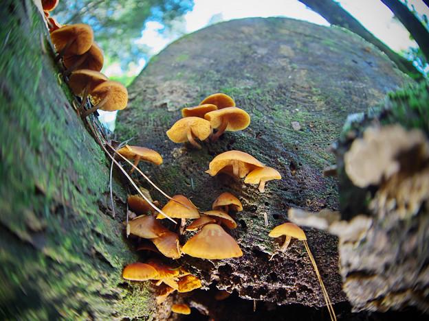 181001_山梨県北杜市・白州・尾白の森名水公園「べるが」_キノコ仲間_E181001D8312_MZD8FP_YN160s_X8Ss