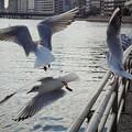 190203_横浜市鶴見区・鶴見川_飛翔<ユリカモメ>_G190203XD4947_MZD12ZP_X9Ss