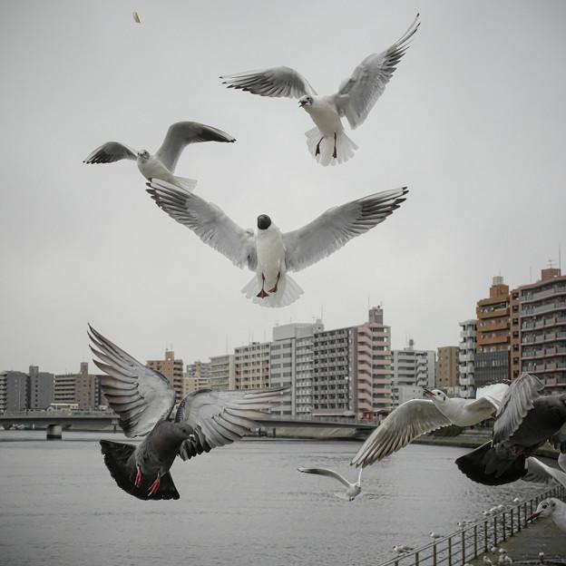 190412_横浜市鶴見区・鶴見川_飛翔<ユリカモメ&ドバト>_G190412XF6539_MZD12ZP_X9Ss
