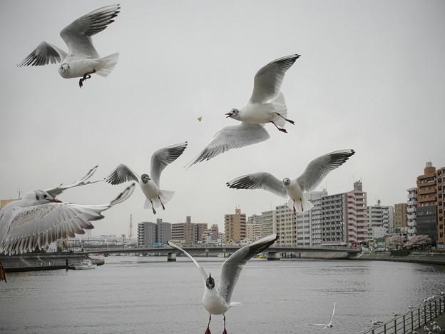 Photos: 190412_横浜市鶴見区・鶴見川_飛翔<ユリカモメ>_G190412XF6546_MZD12ZP_X9Ss