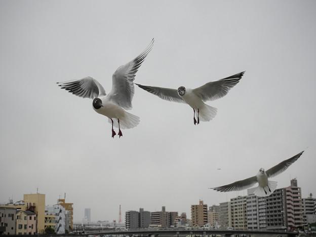 Photos: 190412_横浜市鶴見区・鶴見川_飛翔<ユリカモメ>_G190412XF6652_MZD12ZP_X9Ss