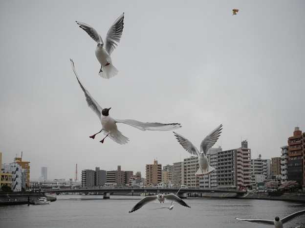 190412_横浜市鶴見区・鶴見川_飛翔<ユリカモメ>_G190412XF6690_MZD12ZP_X9Ss