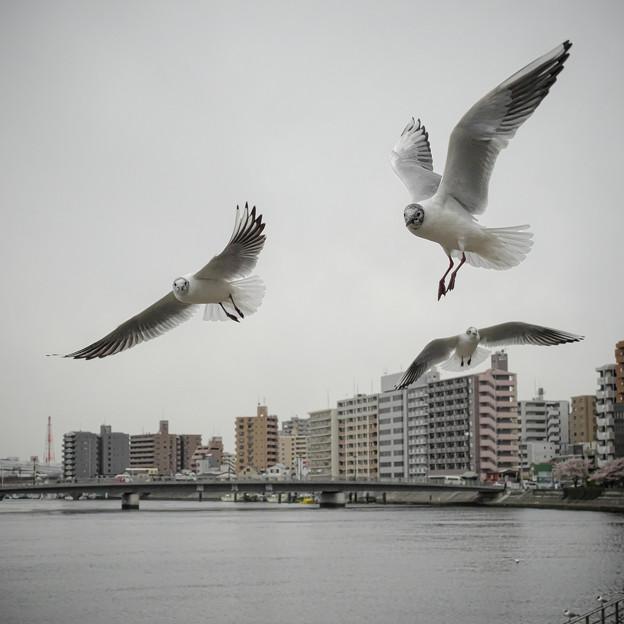 Photos: 190412_横浜市鶴見区・鶴見川_飛翔<ユリカモメ>_G190412XF6712_MZD12ZP_X9Ss