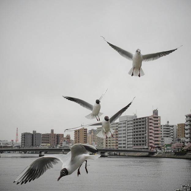 Photos: 190412_横浜市鶴見区・鶴見川_飛翔<ユリカモメ>_G190412XF6773_MZD12ZP_X9Ss