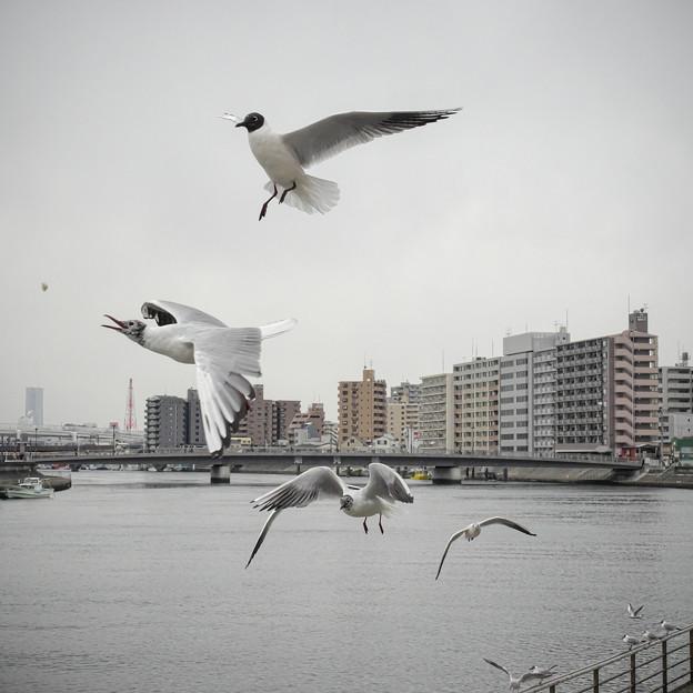 190412_横浜市鶴見区・鶴見川_飛翔<ユリカモメ>_G190412XF6806_MZD12ZP_X9Ss