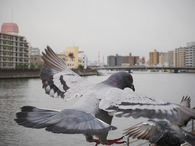 Photos: 190412_横浜市鶴見区・鶴見川_飛翔<ドバト>_G190412XF5485_MZD12ZP_X9Ss