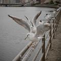 Photos: 190412_横浜市鶴見区・鶴見川_羽ばたき<ユリカモメ>_G190412XF7009_MZD12ZP_X9Ss