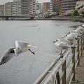 Photos: 190412_横浜市鶴見区・鶴見川_飛翔<ユリカモメ>_G190412XF6956_MZD12ZP_X9Ss