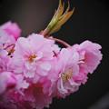 Photos: 190423_山梨県富士河口湖町・西湖野鳥の森_着露花<サクラ(桜) 「?(八重咲き種)」>_G190423XG1537_MZD300P_FH_C-SG_FS1_X9Ss