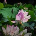 Photos: 190805_平塚・花菜ガーデン_ハス_F190805J1437_B36ED_1.1xDG_X9Ss
