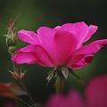 201019_平塚・花菜ガーデン_バラ_G201019XY0218_MZD300P_FH_C-SG_FS1_X10Ss