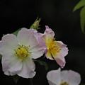 201019_平塚・花菜ガーデン_バラ_G201019XY0416_MZD300P_FH_C-SG_FS1_X10Ss