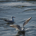 201222_茅ヶ崎・柳島海岸_飛翔(着水)<ユリカモメ>_J201222AB4619_MZD300P_MC14_PCL18_X10Ss