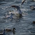 201222_茅ヶ崎・柳島海岸_飛翔(着水)<ユリカモメ>_J201222AB4662_MZD300P_MC14_PCL18_X10Ss