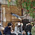 201213_静岡県富士宮市・富士花鳥園_飛翔<ヨゲンノスリ>_J201213AB8616_MZD12-100ZP_PCL18_X10Ss