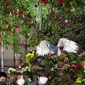 Photos: 201213_静岡県富士宮市・富士花鳥園_飛翔<ヨゲンノスリ>_J201213AB8855_MZD12-100ZP_PCL18_X10Ss