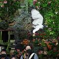 Photos: 201213_静岡県富士宮市・富士花鳥園_飛翔<ヨゲンノスリ>_J201213AB8875_MZD12-100ZP_PCL18_X10Ss