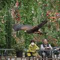 Photos: 201213_静岡県富士宮市・富士花鳥園_飛翔<モモアカノスリ>_J201213AC2439_MZD12-100ZP_PCL18_X10Ss