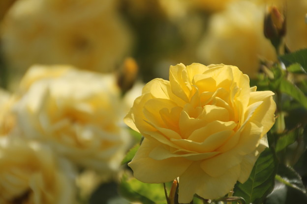 Photos: 春バラ
