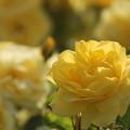 写真: 春バラ