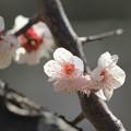 Photos: 鴬宿梅