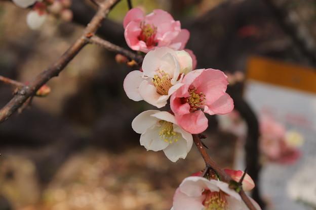 Photos: 不老園 ボケの花