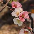 写真: 不老園 ボケの花