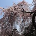 Photos: 梅岩寺 しだれ桜