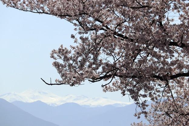 松本 薄川沿い 桜と北アルプス01