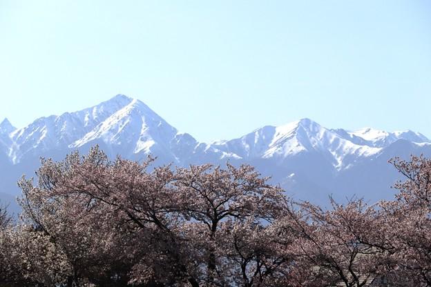 松本 薄川沿い 桜と北アルプス02