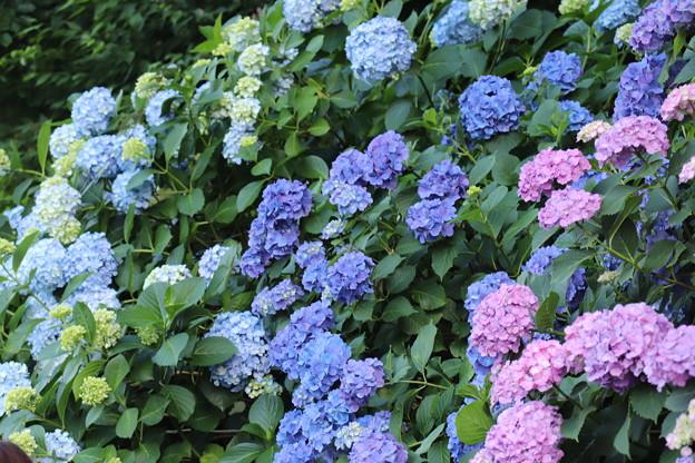 Photos: 飛鳥山公園 紫陽花03