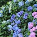 飛鳥山公園 紫陽花03