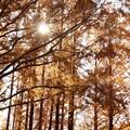 Photos: メタセコイアの紅葉