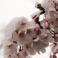 Photos: 桜と雪