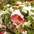 Photos: 雪と椿