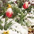 Photos: 雪とチューリップ