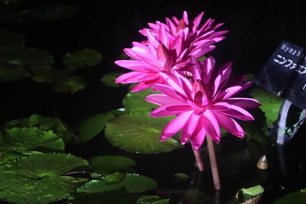 夜に咲く睡蓮