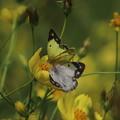 Photos: 蝶のカップル