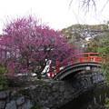 写真: 輪橋と光琳の梅