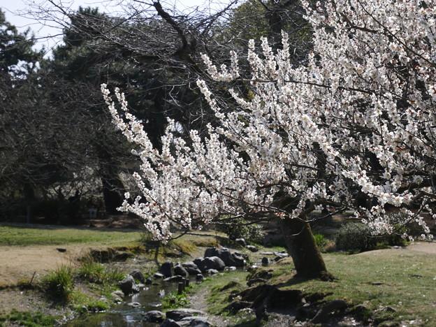 写真: 梅 京都御苑 2018